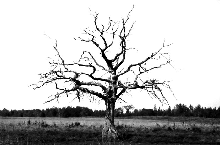 Dead Apple Tree