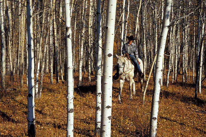 Cowboy in Birch Woods, Boundary Ranch - Jonas Guinn